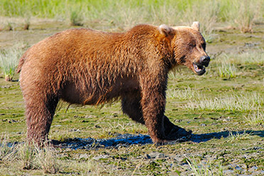Grizzly_Snarl_X4053s