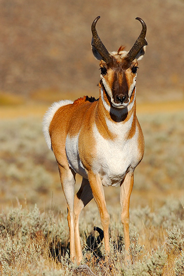 Pronghorn_0470s