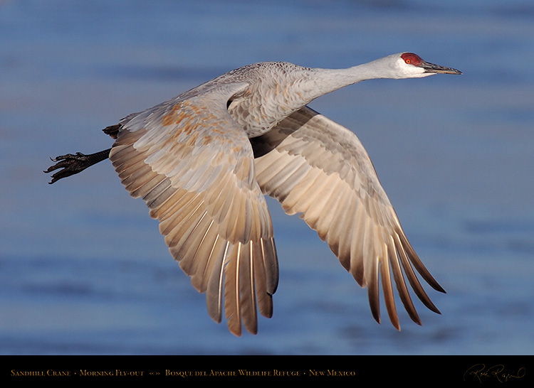 SandhillCrane_MorningFlyout_HS0724