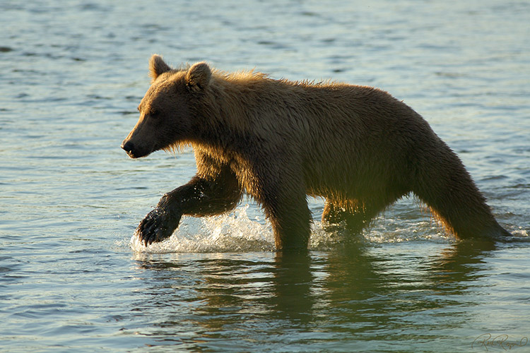 Grizzly_Fishing_X2931