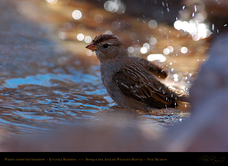 White-Crowned_Sparrow_Juvenile_Bathing_2121