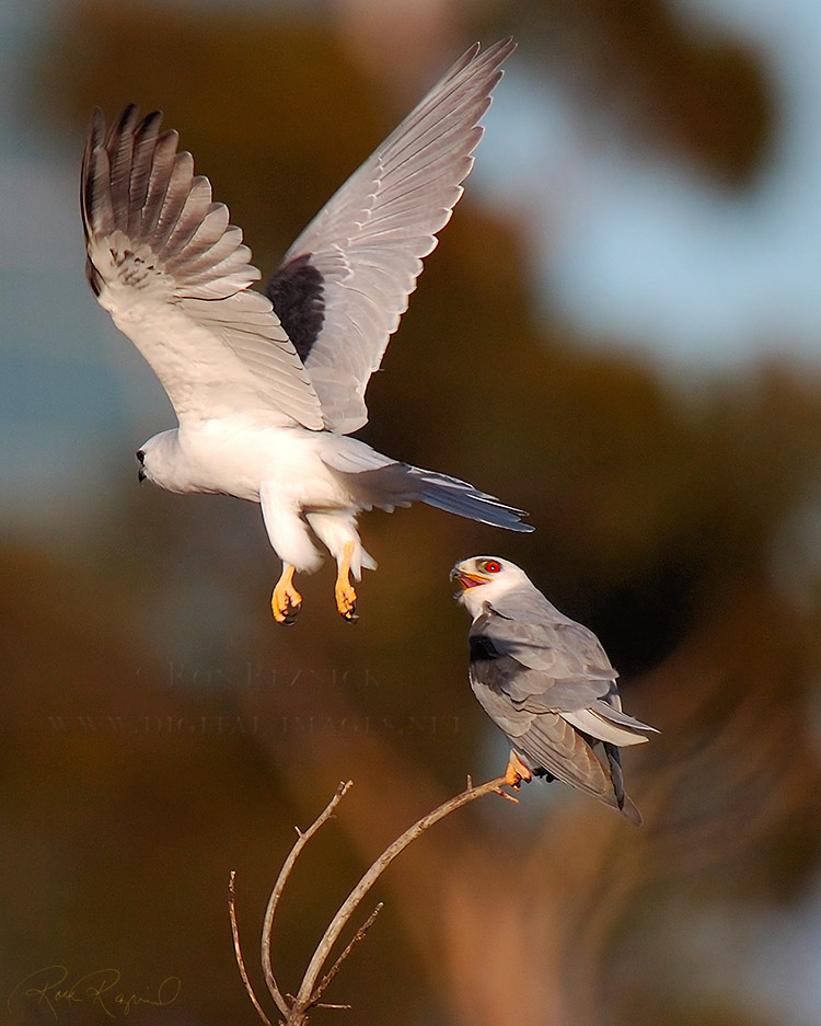 White-Tailed_Kite_Fly-by_HS6888c
